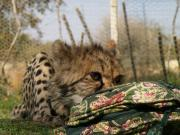 Cheetah Cub with Purse