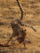 Dynamic cheetah