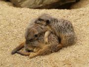 Meerkat heap